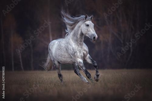 Fotografía  Purebred Arabian stallion running gallop