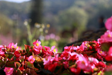Red Begonia With Blur Garden Background At Royal Agricultural Station Angkhang Chiang Mai, Thailand, Soft Focus.