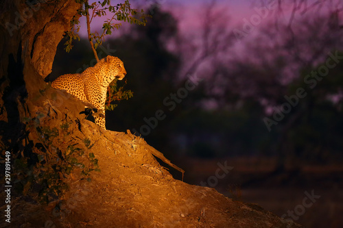 The African leopard (Panthera pardus pardus) big male in his territory in the last evening light Canvas Print