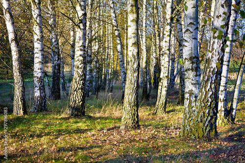 Foto op Plexiglas Berkbosje Birch forest in autumn on a sunny day