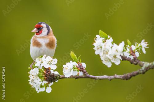 Fotografía European Goldfinch ( Carduelis carduelis ) on a blossoming branch