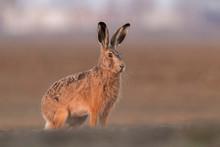 Sitting Hare (Lepus Europaeus)