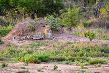 Lone Leopard Lay Down Resting Against An Anthill To Observe The Environment For Prey