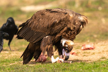 Big Vulture And A Crow Eating