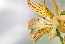 Yellow Peruvian Lily In Profile