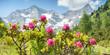 Alpenrosen in den Zillertaler Alpen mit Gletscher im Hintergrund als Panorama