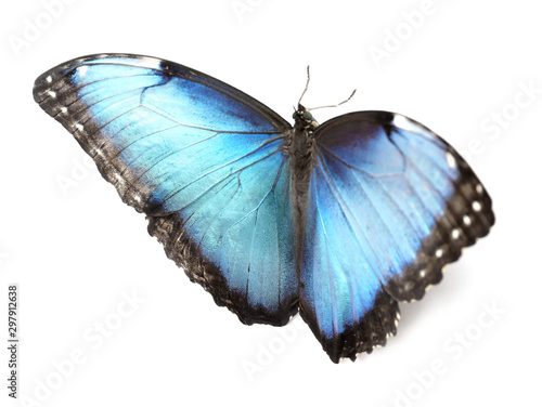 Fotografie, Obraz  Beautiful Blue Morpho butterfly on white background
