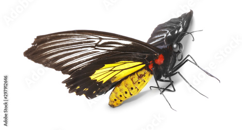 Photo Beautiful common Birdwing butterfly on white background