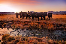 A Herd Of Black Cows By A Stre...