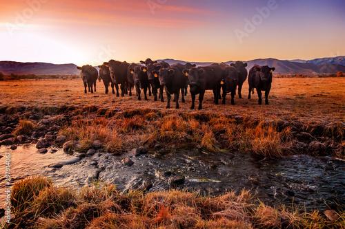 Foto auf Gartenposter Schokobraun A herd of black cows by a stream through a field in rural Utah, USA.