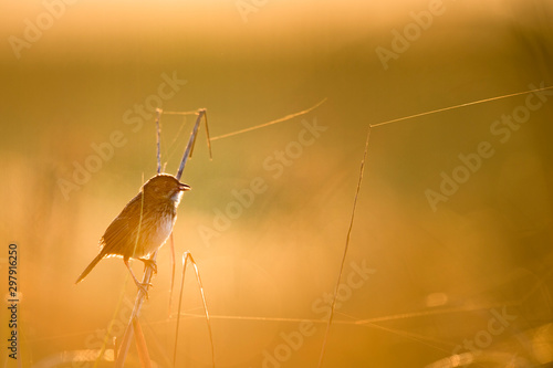 A Seaside Sparrow perched in the marsh grass glowing in the golden early morning sunlight Canvas Print