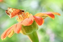 Skipper On Orange Flower