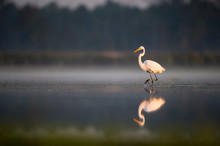 A Great Egret Walks In The Sha...