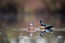 A Pair Of Male Wood Ducks Floa...