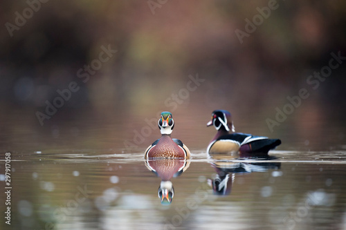 A pair of male Wood Ducks float on a pond in soft overcast light with a clear reflection in the calm water Canvas Print