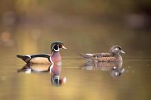 Male And Female Wood Ducks Swi...