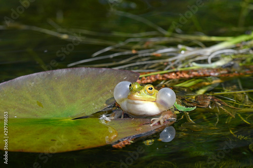 Canvas Prints Frog Kleiner Wasserfrosch (Pelophylax lessonae) im Nationalpark Polesie, Polen - Pool frogs in Polesie National Park, Poland