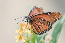 Monarch Butterfly On Yellow Fl...