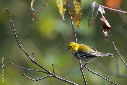 A Black-throated Green Warbler perched in a branch in the early morning sunlight Canvas Print