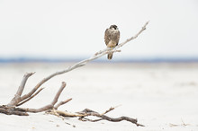 A Peregrine Falcon Perched On ...
