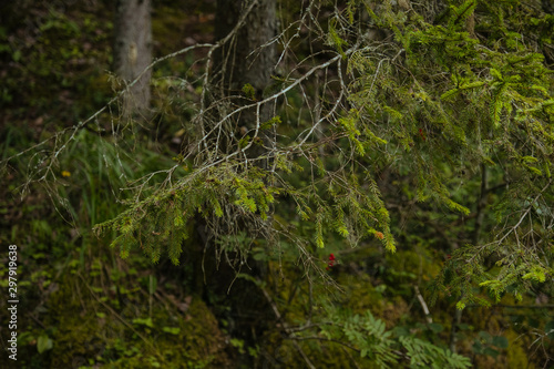 Spoed Fotobehang Weg in bos Sandy bank of the Gauja river in a dense coniferous forest
