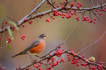 An American Robin Perched In A...