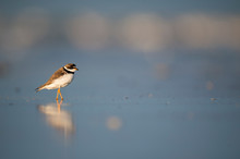 A Semipalmated Plover Stands In Shallow Water With Its Reflection In The Golden Sunlight With A Smooth Blue Background.