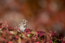 A Song Sparrow Perched In Bright Red And Orange Leaves In Autumn Color With A Colorful Background.