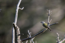 A Blue-headed Vireo Perched On...