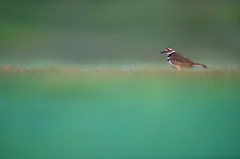 A Killdeer Stands In A Field Of Soft Green Grass With A Smooth Foreground And Background.