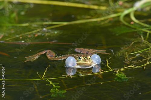 Recess Fitting Frog Kleiner Wasserfrosch (Pelophylax lessonae) - Pool frog