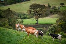 Vacas Doble Proposito En Cundi...