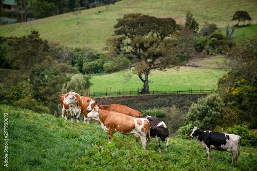 Vacas doble proposito en Cundinamarca-Colombia Canvas Print