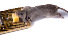 Mousetrap With Piece Of Cheese, On A White Background. Which Caught A Gray Mouse.