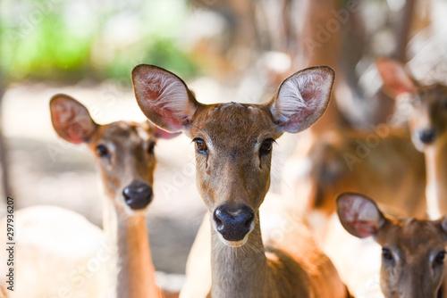 Poster Deer Eld's deer or Panolia eldii , Thamin , Brow antlered deer in the farm national park