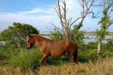 Wild Horse, Assateague Island, Maryland.
