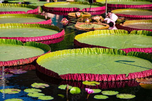 Photo Giant amazon water lily closeup at the pond