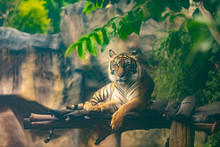 Bengal Tiger Resting In Forest