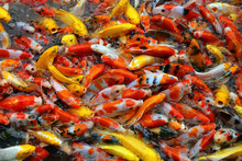 Colourful Fancy Carp Fishes. K...
