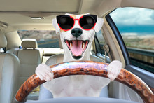 Portrait Of A Funny Dog Jack Russell Terrier Behind The Wheel Of A Car