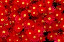 Vygies In Full Bloom