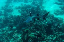 White Tip Reef Shark (Triaenodon Obesus) Swimming In The Sea.