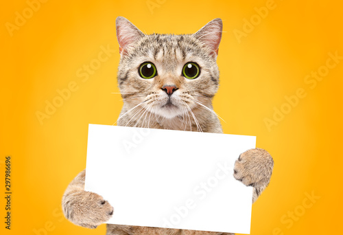 Photographie Portrait of a cat Scottish Straight with a banner in paws on a orange background