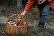 grzybiarz wkłada grzyba do koszyka w lesie