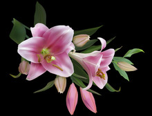 Isolated On Black Light Pink Lily Flowers Bunch