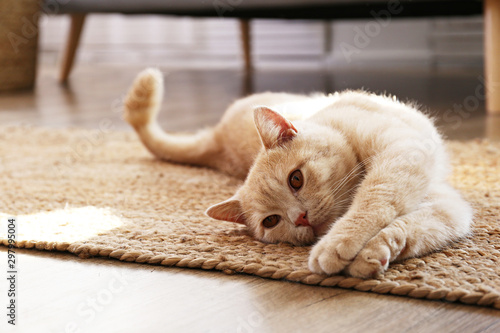 Cute red scottish fold cat with orange eyes lying on grey textile sofa at home. Soft fluffy purebred short hair straight-eared kitty. Background, copy space, close up.