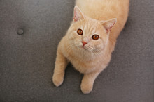 Cute Red Scottish Fold Cat Wit...