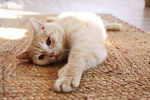 Carta da parati Cute red scottish fold cat with orange eyes lying on grey textile sofa at home