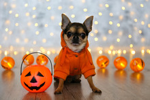 Studio Shot Of Mini Chihuahua With Big Ears & Bulging Eyes Sitting With Jack-O-Lantern Basket. Short-haired Black White & Brown Miniature Doggy In Halloween Costume. Close Up, Copy Space, Background