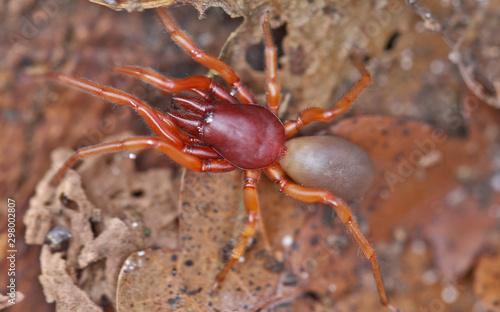 Photo Araignée, Dysdera crocata